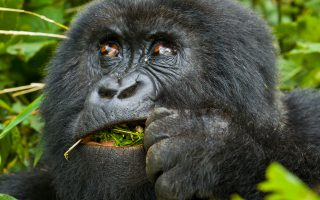 14 Days Rwanda Chimpanzee Tracking Safari