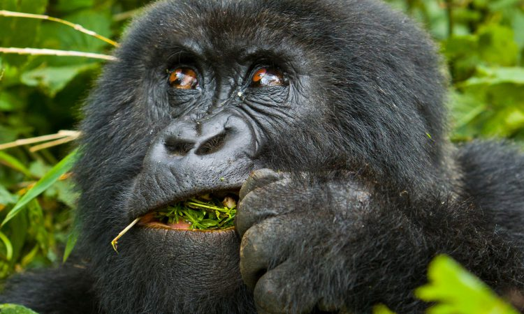 14 Days Rwanda Chimpanzee Tracking Safari