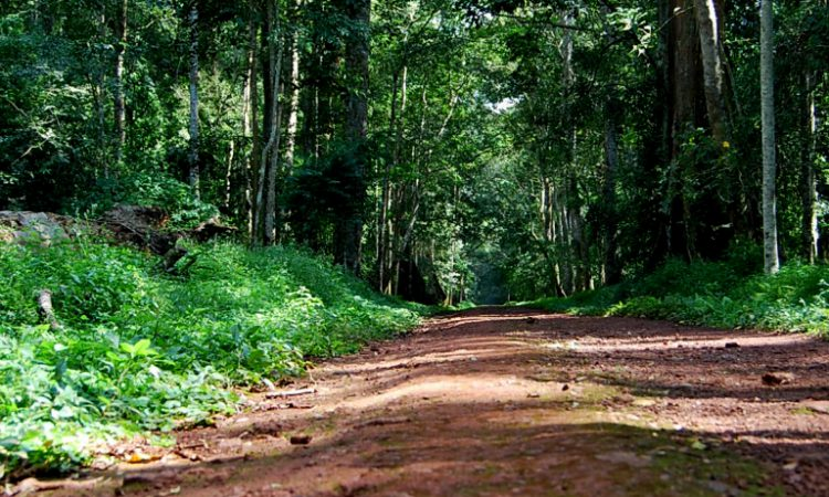 3 Days Budongo Chimpanzee Tracking Safari