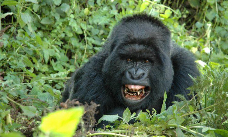 5 Days Flying Gorilla Safari Bwindi