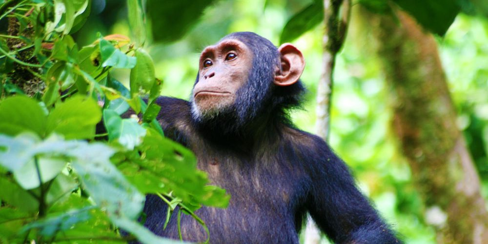 Kibale Chimp